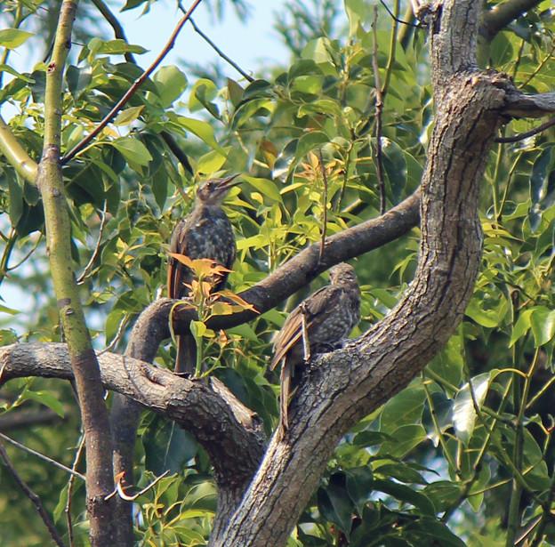 ヒヨドリの幼鳥さん2羽 (1)