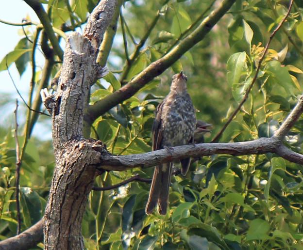 ヒヨドリの幼鳥さん2羽  (4)