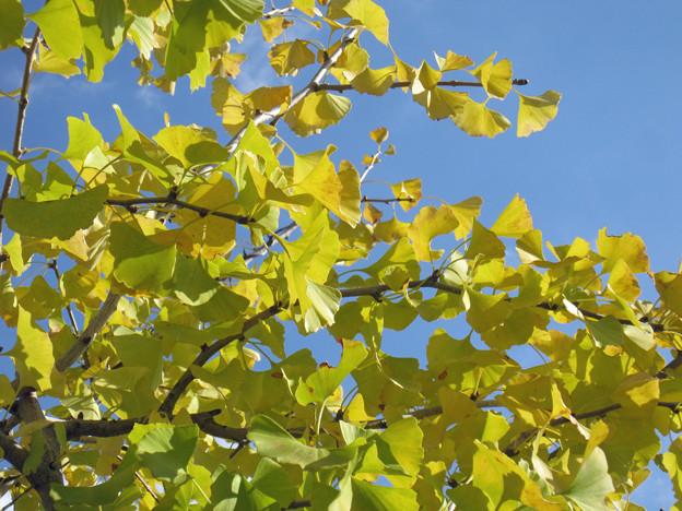 銀杏の葉(2)陽の光をあびて