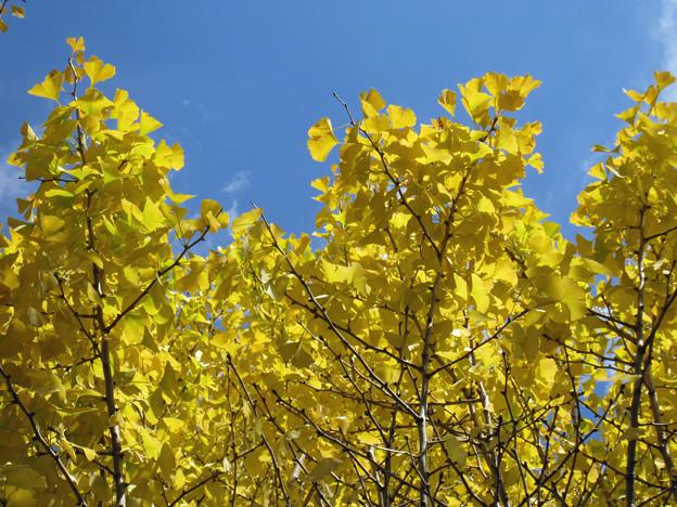 銀杏の枝たち(4) 完熟の黄金色