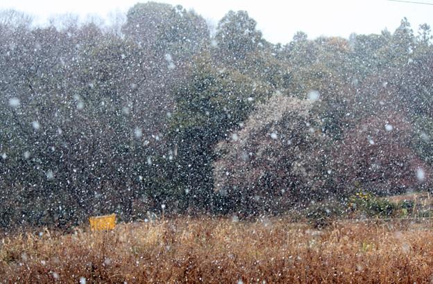 雪が降りました  白梅の花にも