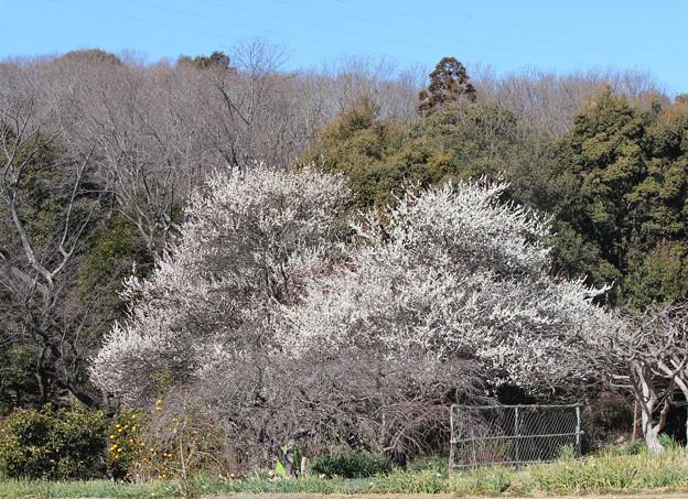 白梅の木 遠景  右側の木も満開に