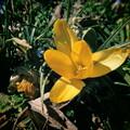ちょこっと春を感じて (1) 花サフラン
