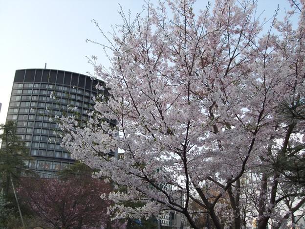 満開の駿河桜の実生170402