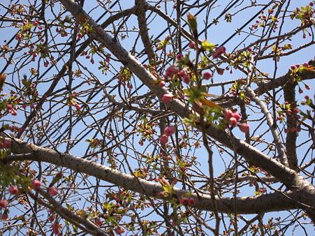 八重桜かな?