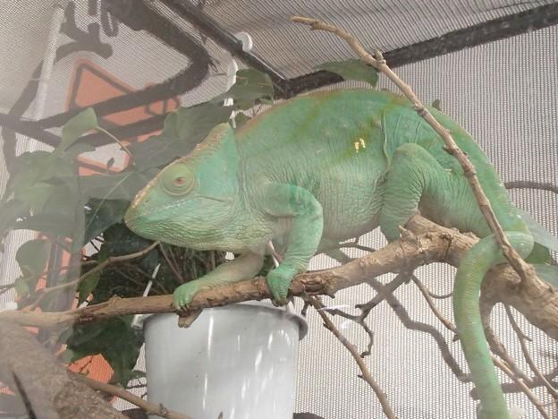 緑のカメレオン