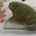 大きいカエル