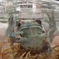 目の大きいカエル