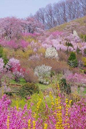 花見山20100413