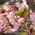 写真: 桜風呂