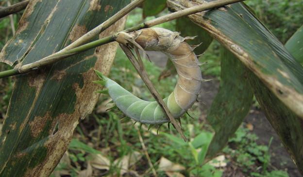 笹の茎からタケノコ