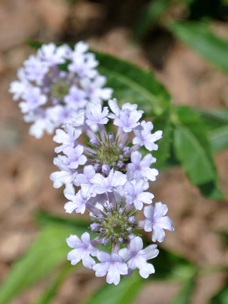 野の花002