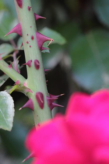 綺麗な薔薇には棘がある