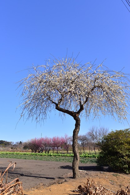 見沼たんぼの梅
