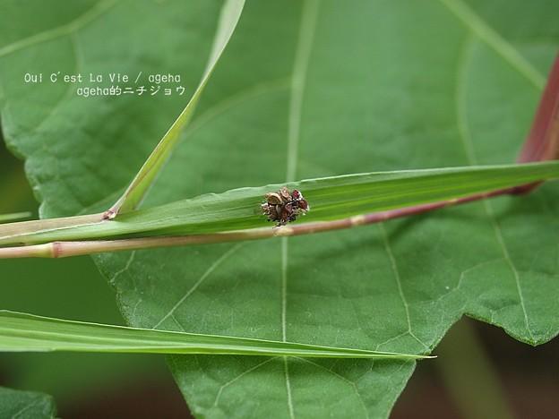 Photos: 動くゴミ発見。(クサカゲロウ幼虫)