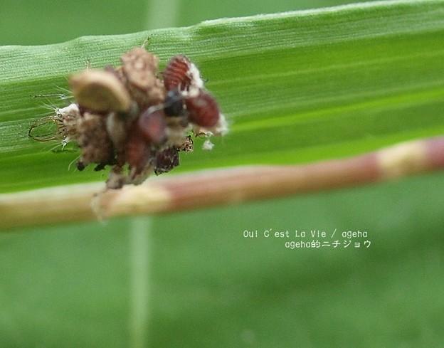 立派な顎です。(クサカゲロウ幼虫)