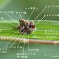 Photos: レシピ。(クサカゲロウ幼虫)