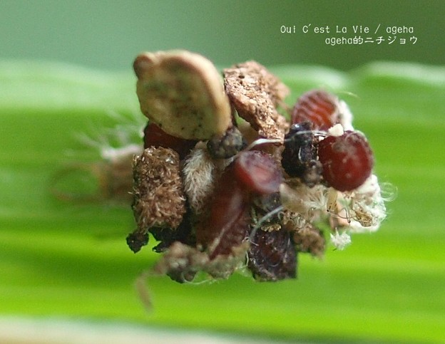 動くフルーツグラノーラ。(クサカゲロウ幼虫)