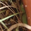 蛹三昧3。(ヤマトシジミ飼育)