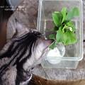 Photos: そろそろ蛹化するヨ。(ナミアゲハ飼育)