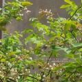 ブルーベリー大好きなアオスジアゲハ。