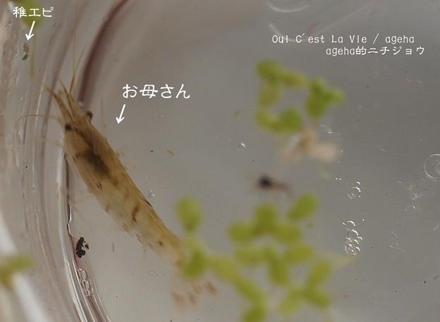 Photos: 稚エビはまるでアブラムシの様相。(稚エビ飼育)