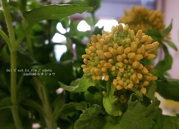 おひたし用菜の花もうすぐ咲くよ。
