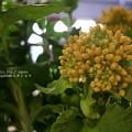 Photos: おひたし用菜の花もうすぐ咲くよ。