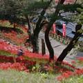 Photos: 羽黒山公園の彼岸花群生