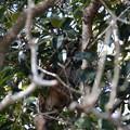 Photos: 虎斑木菟 枝被りですが