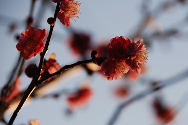 夕日色の梅