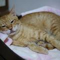 Photos: 2009年9月3日の病み上がりでまだスッキリしない茶トラのボクチン(5歳)