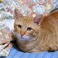写真: 2008年9月20日の茶トラのボクちん(4歳)