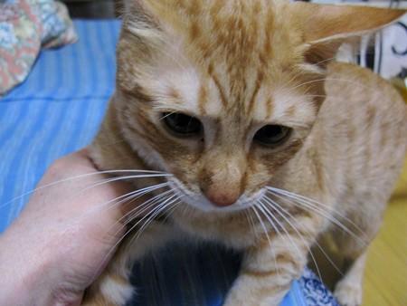 2008年9月20日の茶トラのボクチン(4歳)