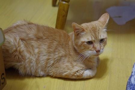 2011年10月2日の茶トラのボクちん(7歳)