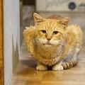 Photos: 2011年10月14日の茶トラのボクちん(7歳)