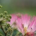 合歓の木咲き出す・・春はいろいろ忙しい