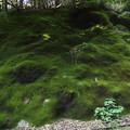 帰りがけに苔の壁 Wall of moss on the way home.