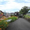 黄花コスモスが咲く風景