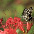 彼岸花に舞う蝶