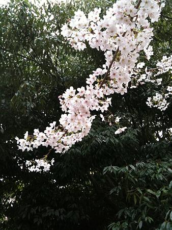 桜2010_09