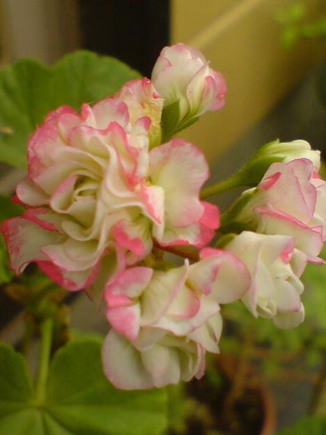 "Geranium""Candypop"""