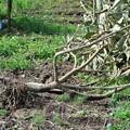 Photos: 台風で倒れたびわの木