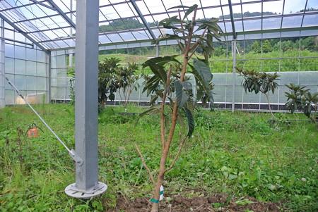 ハウスの間伐樹の植え付け