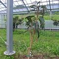 写真: ハウスの間伐樹の植え付け
