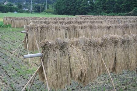 稲刈り後の掛け干し