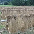 Photos: 稲刈り後の掛け干し