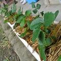 イチゴの苗管理
