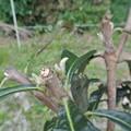芝口に植え付けたびわの新芽
