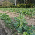 Photos: 12月のソラマメ畑
